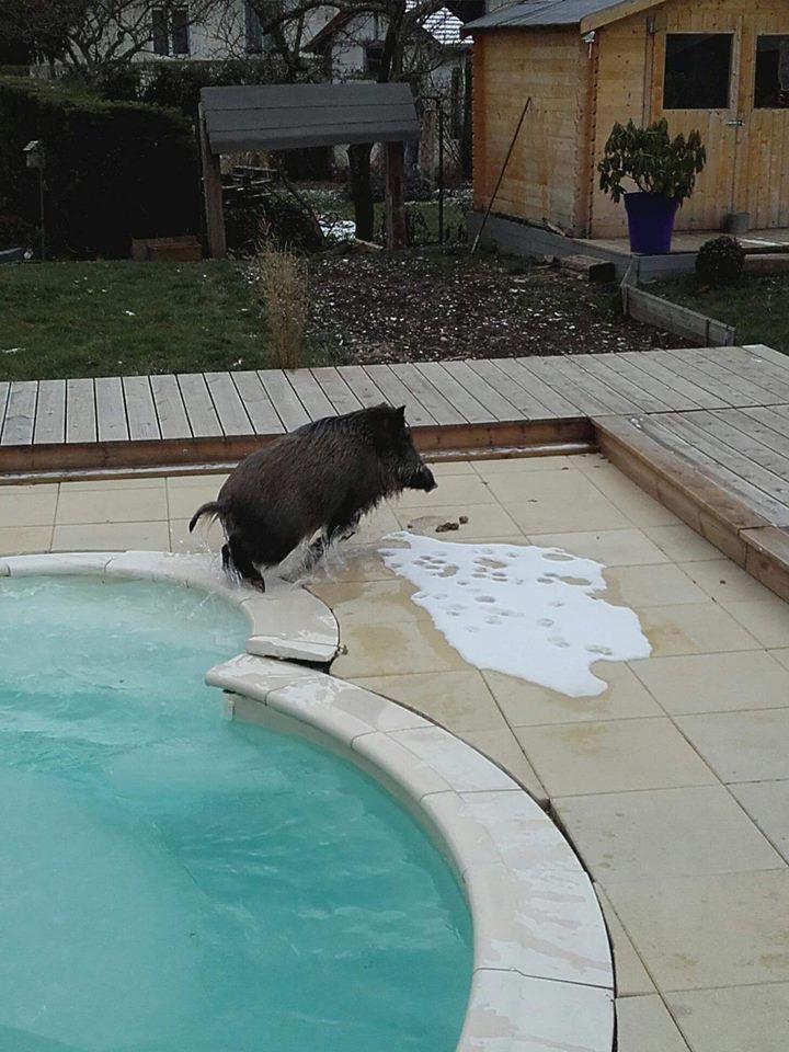 Un sanglier dans une piscine
