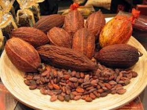cacao Forestero