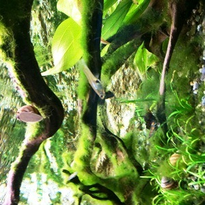 aquarium porte dorée0148
