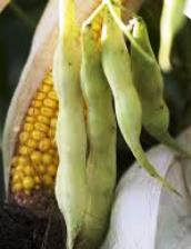Haricot-Maïs du Béarn