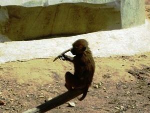 babouin guinée2