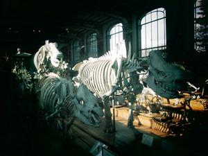 galerie d'anatomie comparée et de paléontologie04