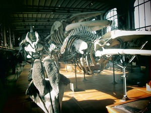 galerie d'anatomie comparée et de paléontologie12