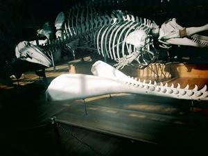 galerie d'anatomie comparée et de paléontologie14