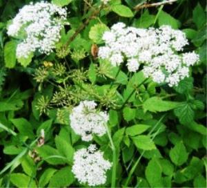 Égopode ou herbe aux goutteux
