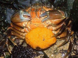 oeufs-de-crabe