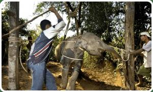 elephants maltraités