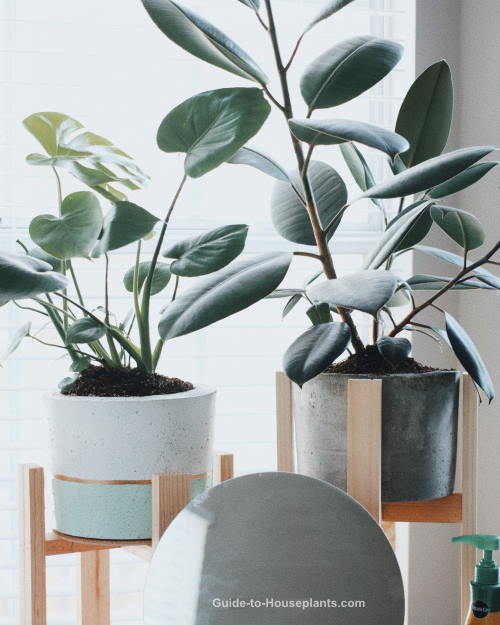 Large House Plants And Tall House Plants