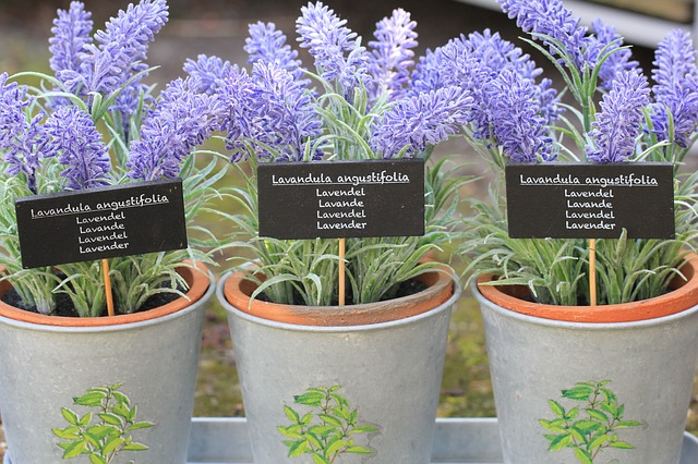 How To Grow Lavender Care Tips For Growing Lavender Plant