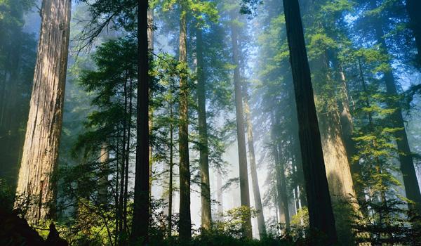 Redwood Californien