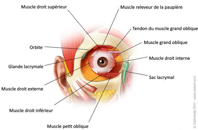 Résultats de recherche d'images pour «l'oeil anatomie»
