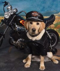 Yellow Lab Pup in Harley Gear