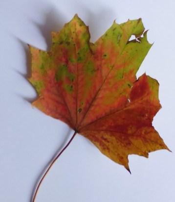 Maple Leaf P1010133