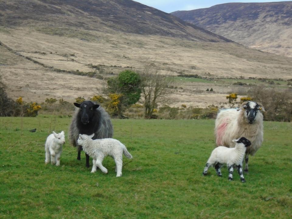 sheep DSC00125