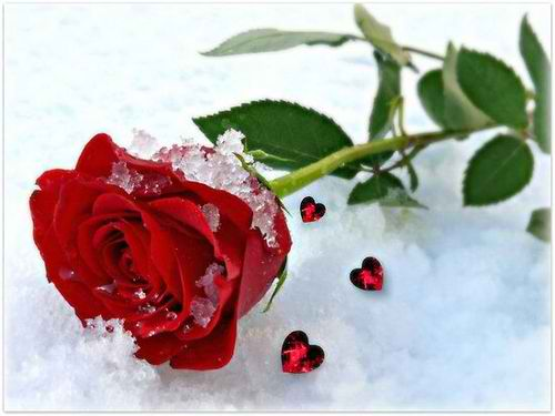 snow-rose-min
