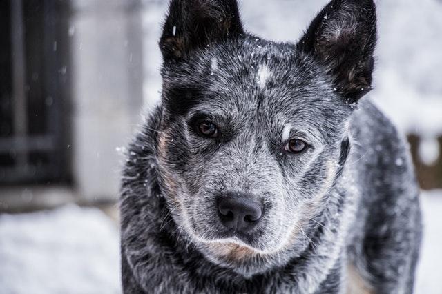 snow-dog-vigilant