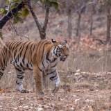 Tiger in Bandhavgarh Tiger Reserve, India