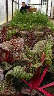 veg in greenhouse