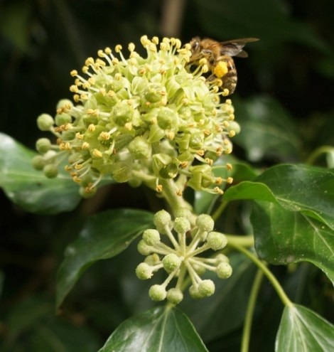 Honey bee on ivy