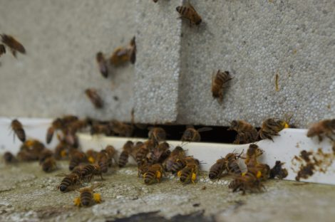 March 17 Bees queuing up to get into the hive with their full polln payload