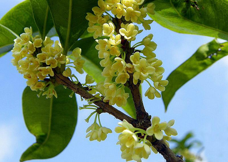 Sweet Osmanthus - the city flower of Guilin,China