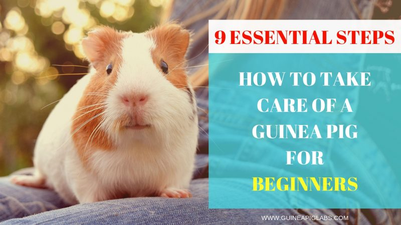 How to Take Care of a Guinea Pig for Beginners