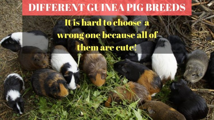 How to choose the right guinea pig
