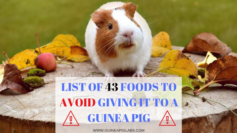 What Guinea pig food to Avoid Giving it to Them? List of 43 foods to
