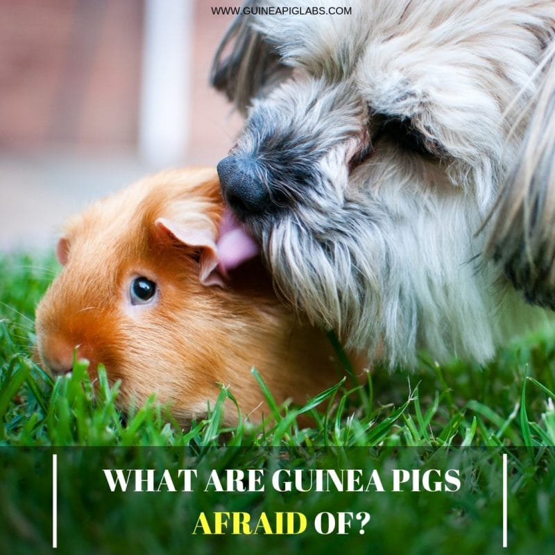 What are guinea pigs afraid of