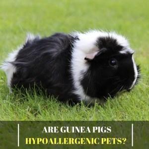 Are Guinea Pigs Hypoallergenic Pets