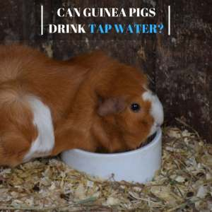 Can Guinea Pigs Drink Tap Water