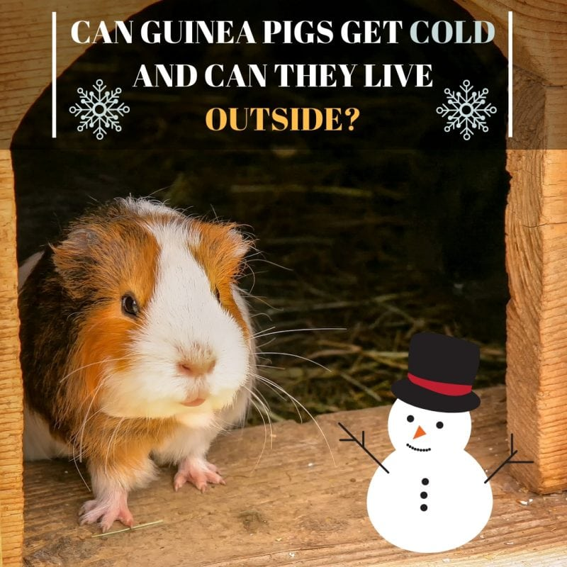 Can Guinea Pigs Get Cold and Can They Live Outside? - Guinea