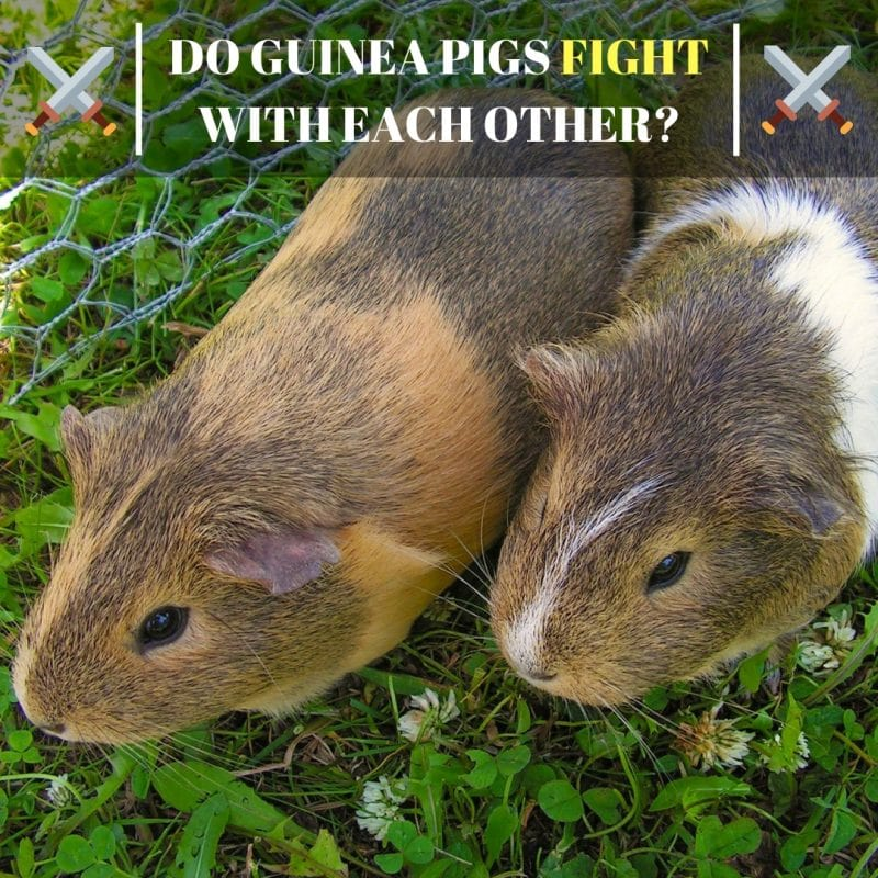 Do Guinea Pigs Fight with Each Other
