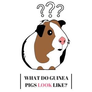 What do Guinea Pigs Look Like