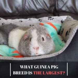 What guinea pig breed is the largest