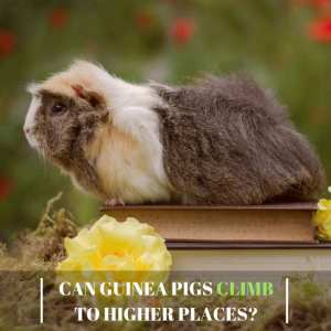 Can Guinea Pigs Climb to Higher Places