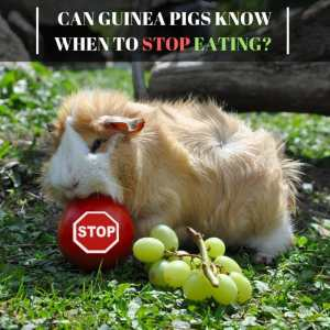 Can Guinea Pigs Know WhenToStop Eating