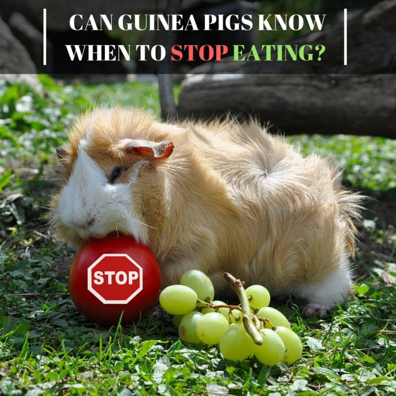 Can Guinea Pigs Know When To Stop Eating