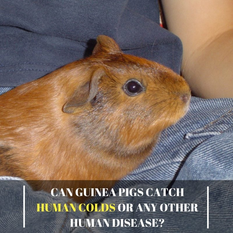 Can Guinea pigs Catch Human Colds or any Other Human Disease