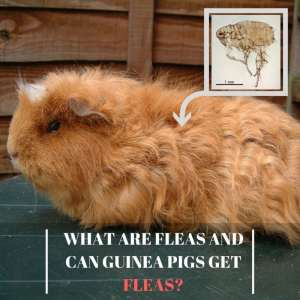 What are Fleas and Can Guinea Pigs Get Fleas