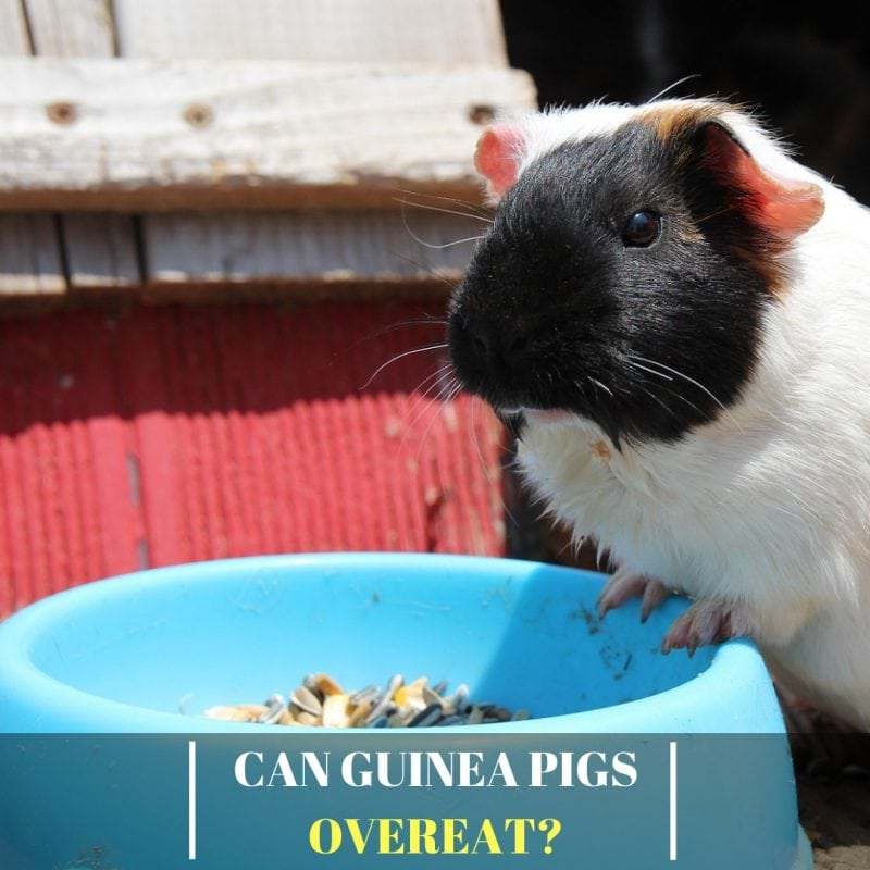 Can Guinea Pigs Overeat