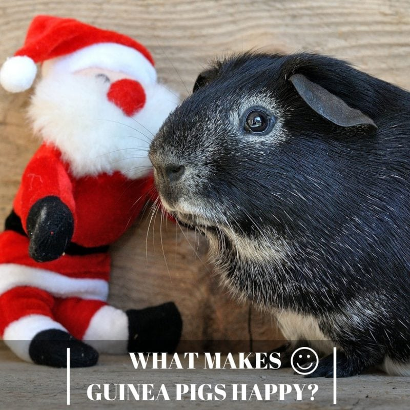 What Makes Guinea Pigs Happy_