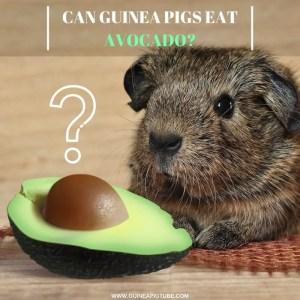 Can Guinea Pigs Eat Avocado