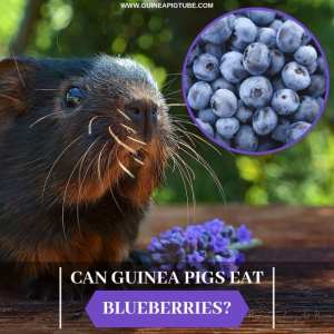 Can Guinea Pigs Eat Blueberries