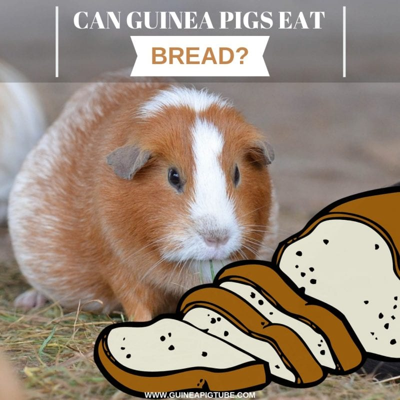 Can Guinea Pigs Eat Bread-