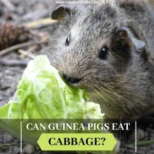 Can Guinea Pigs Eat Cabbage