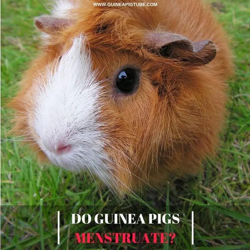 Do Guinea Pigs Menstruate