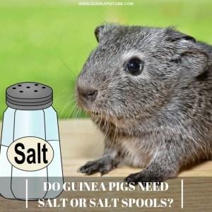 Do Guinea Pigs Need Salt or Salt Spools