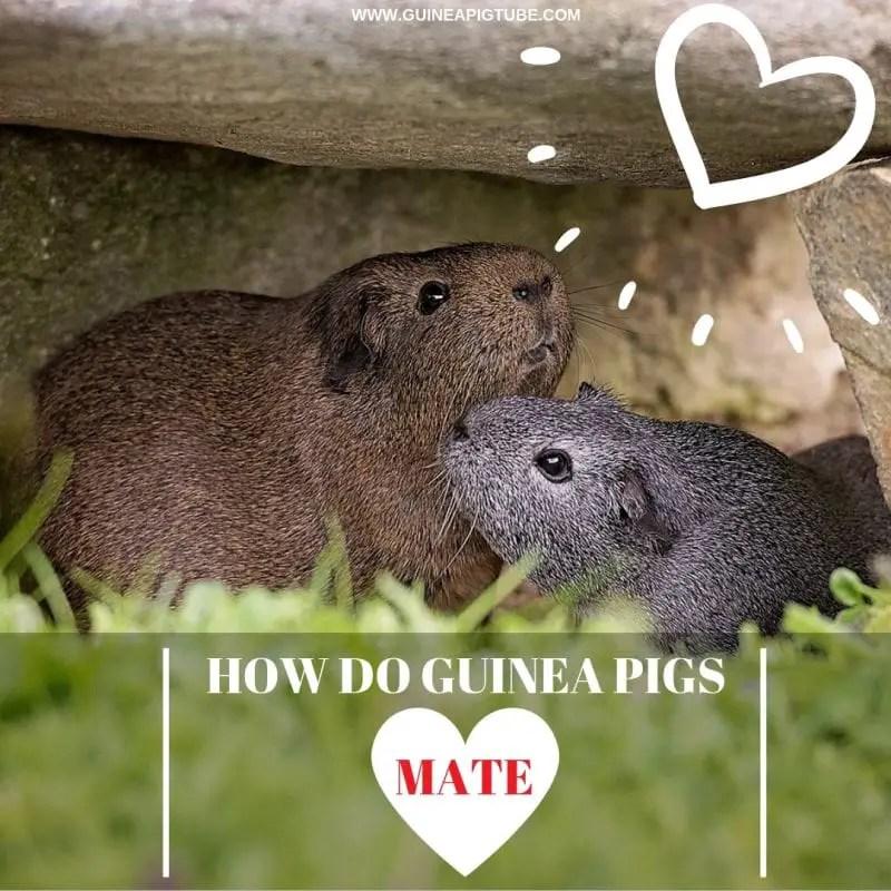 How do Guinea Pigs Mate