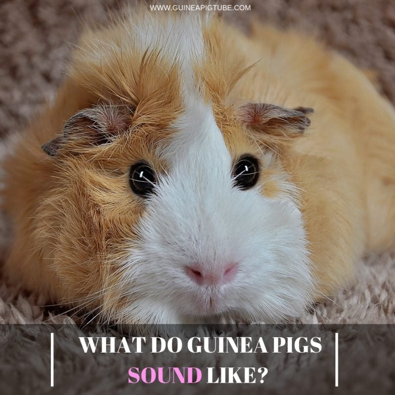 What Do Guinea Pigs Sound Like